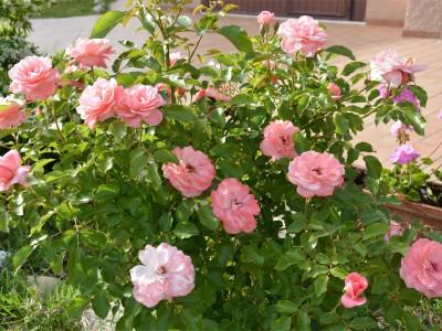 rose basse
